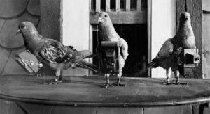 Pigeons with camera harnesses